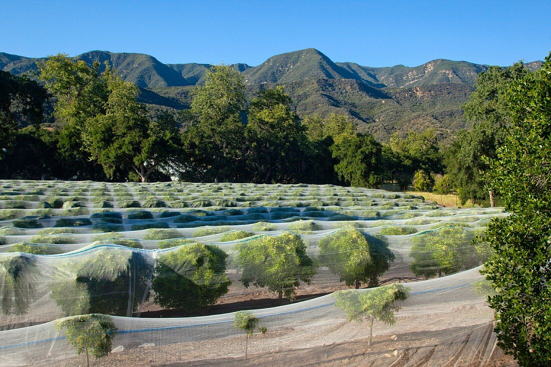 Avocado trees covered with insect nets