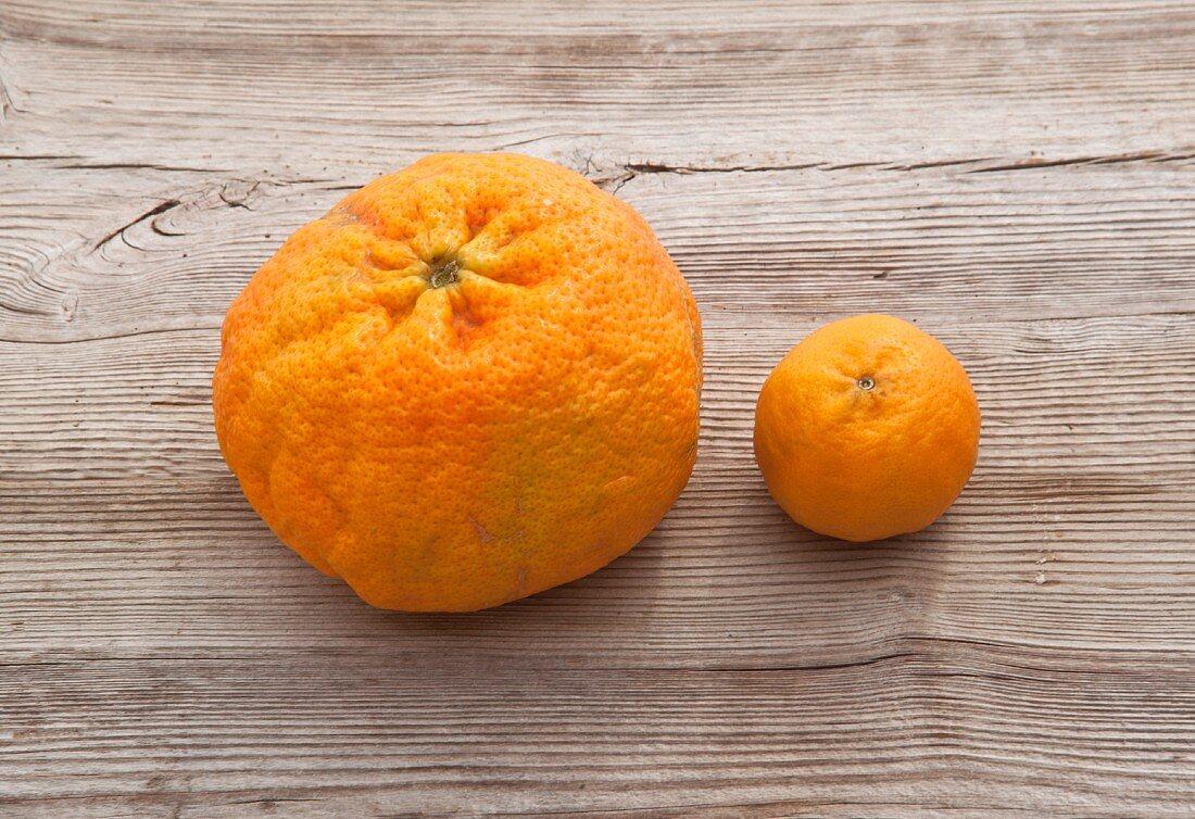 A mammoth mandarin next to average sized mandarin