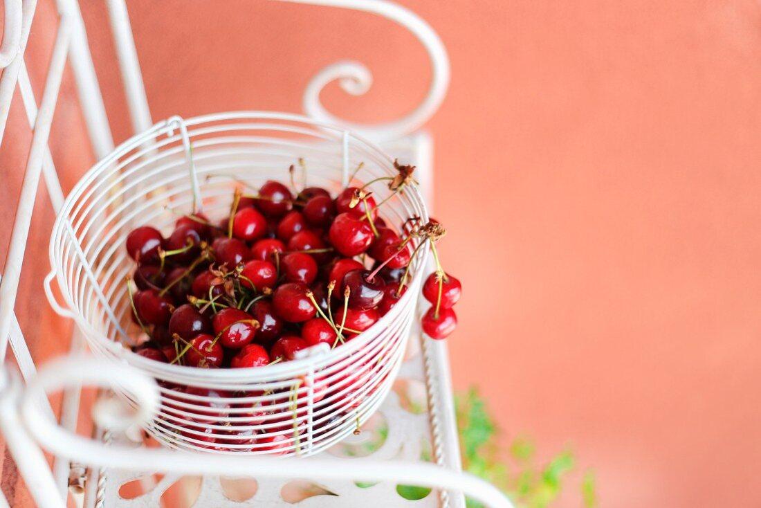 Frisch gepflückte Kirschen in weißem Drahtkorb auf Metallstuhl