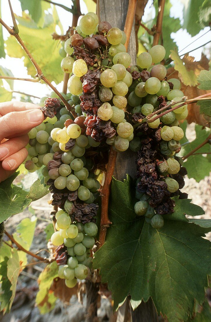 Picking grapes by hand for sweet Hungarian wine from Tokaj