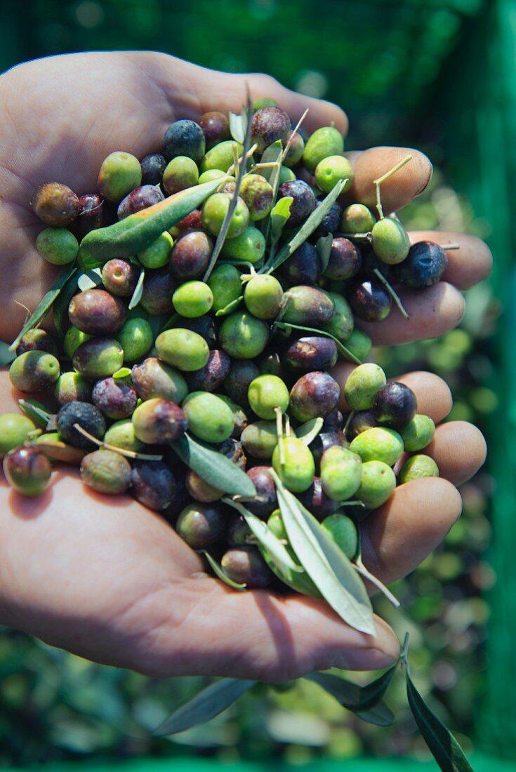 Hands holding freshly harvested olives