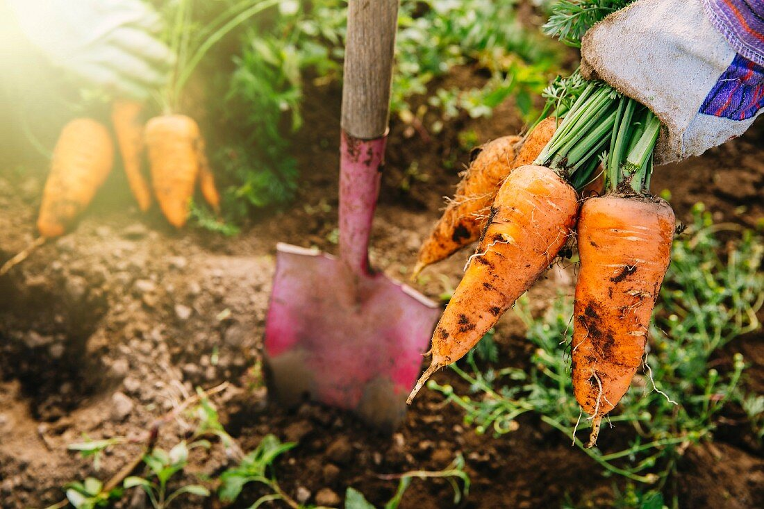 Carrots being removed from the ground with a spade