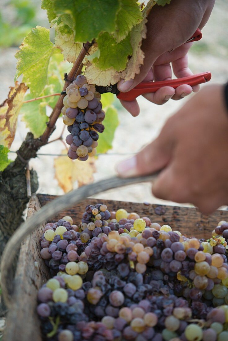 Chateau D'Yquem, grapes being harvested with a small wooden basket