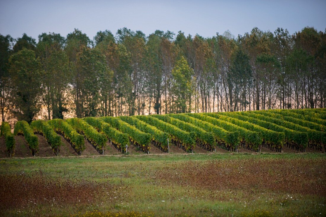Sauternes, a row of poplar trees and a row of vines against a dark sky in late autumn