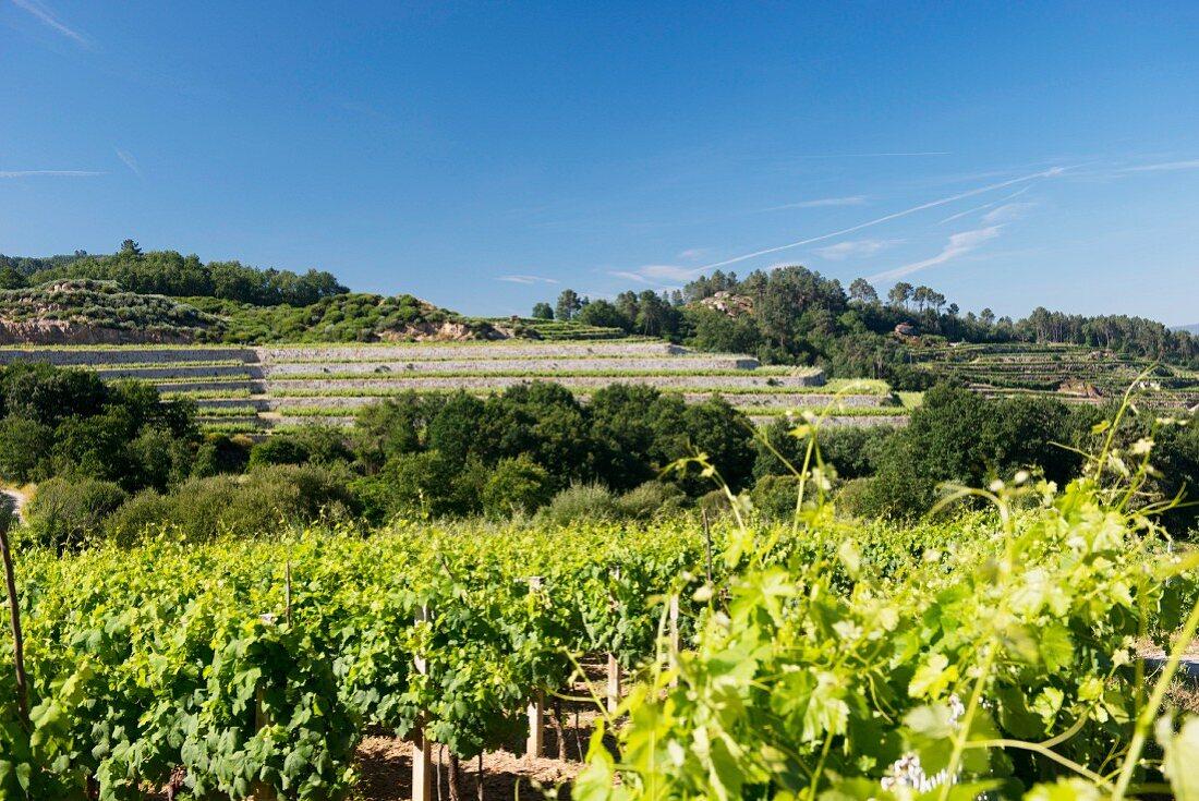 Coto de Gomariz, vineyards with walls and terraces