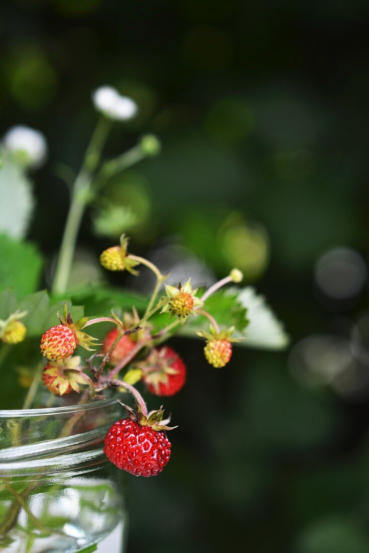 A sprig of wild strawberries in a glass
