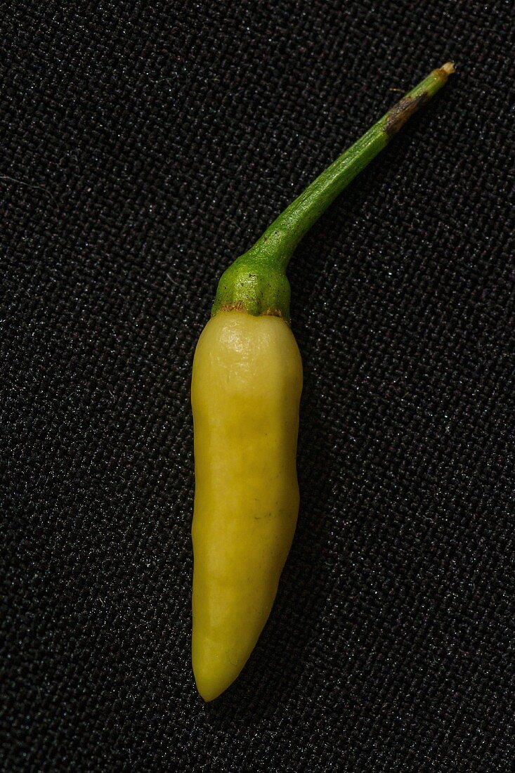 A Kanthari chilli pepper
