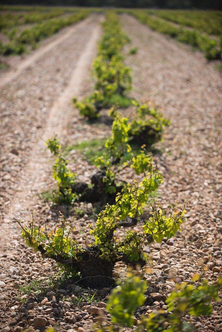 Ancient vines in a stony vineyard (Javier Sanz, Rueda, Spain)