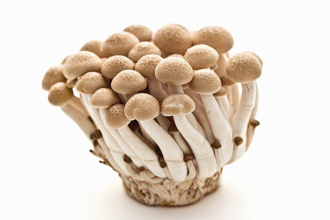 Buna-Shimeji Mushrooms on White Background