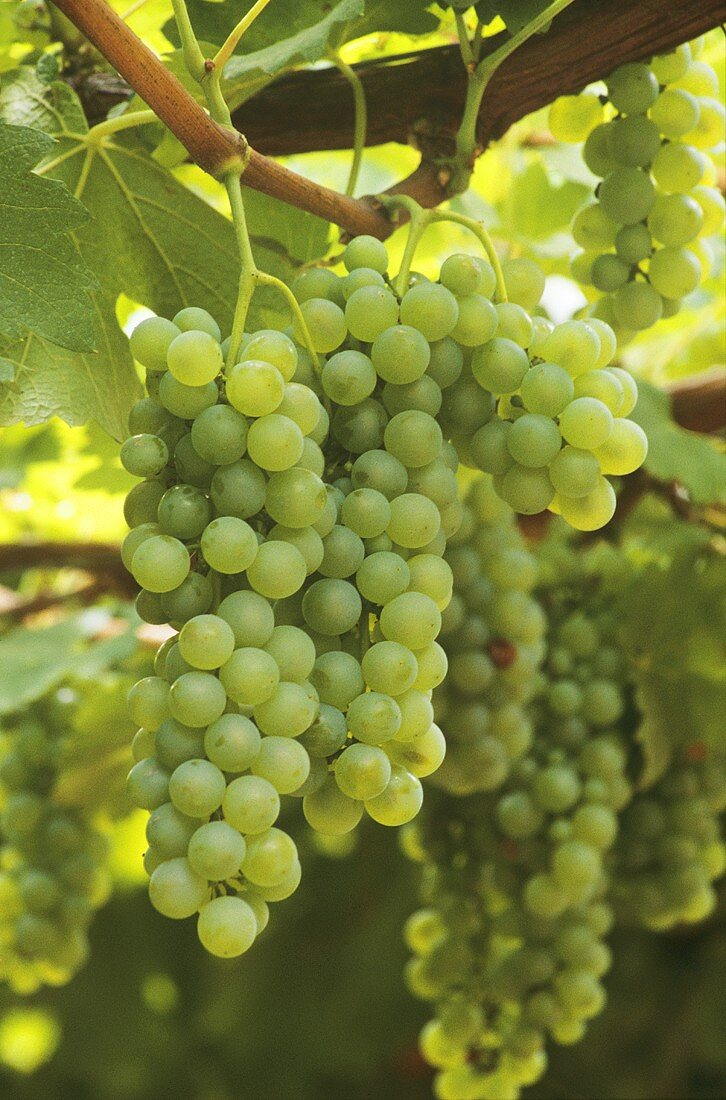 Semillon grapes on the vine in Hunter Valley, Australia
