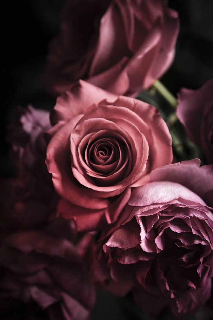Pink roses for Valentine's Day