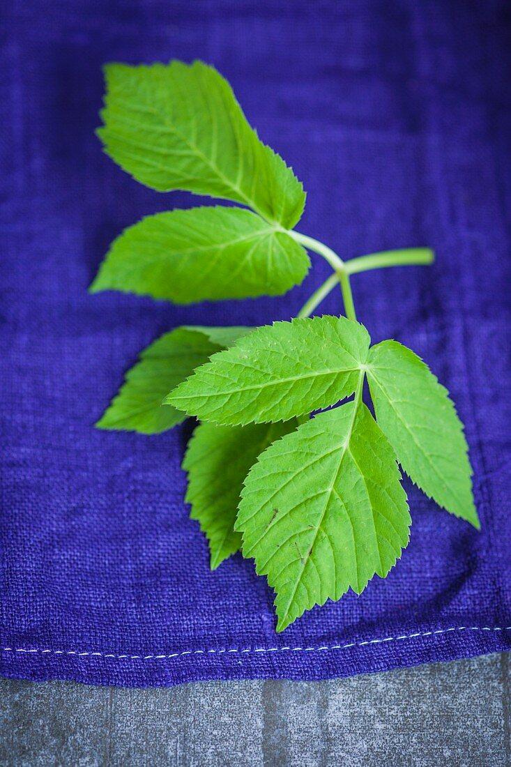 Fresh ground elder leaves