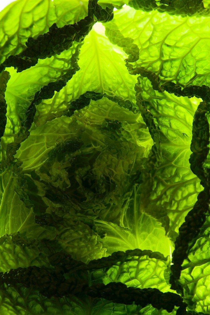 Light shining through savoy cabbage (full-frame)