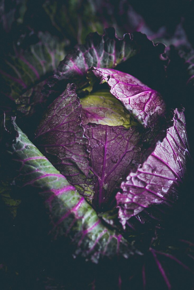 A red cabbage (close-up)