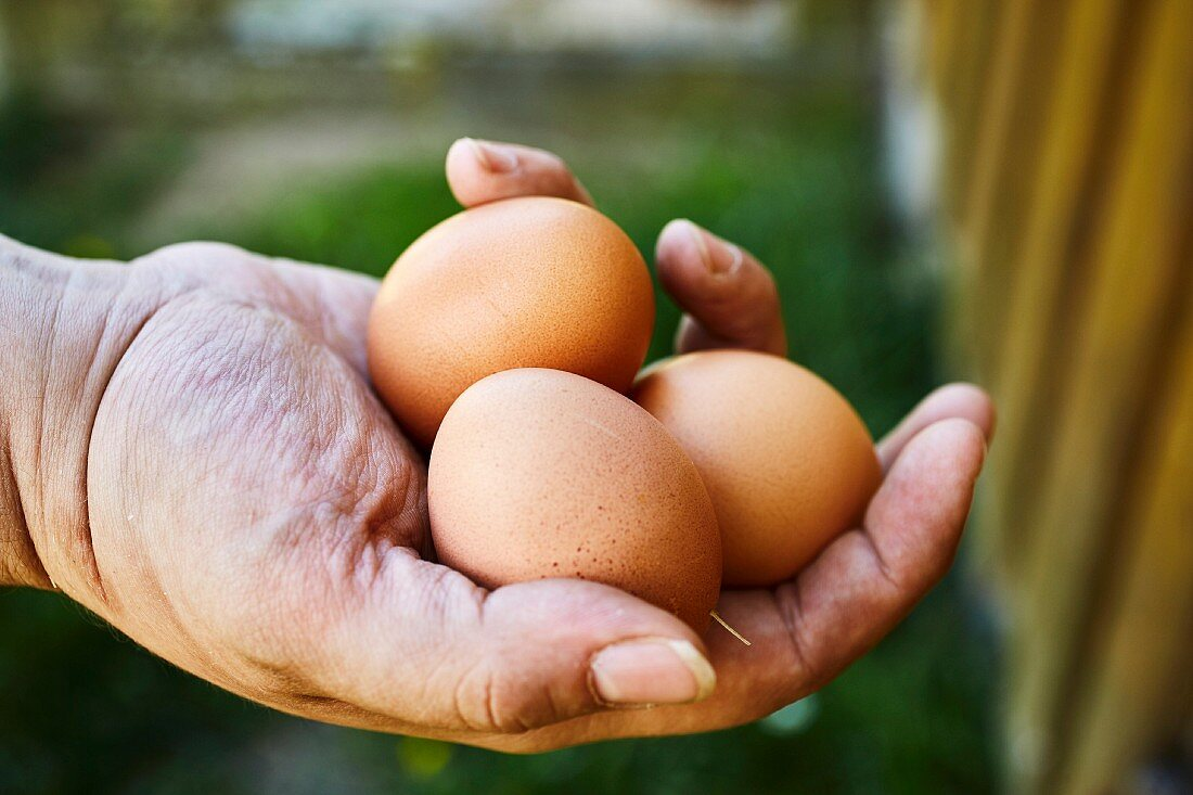 A farmer holding fresh organic eggs in his hand