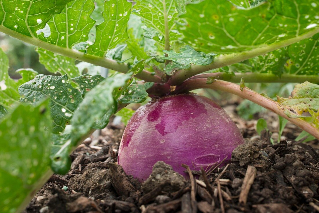 A turnip in the ground