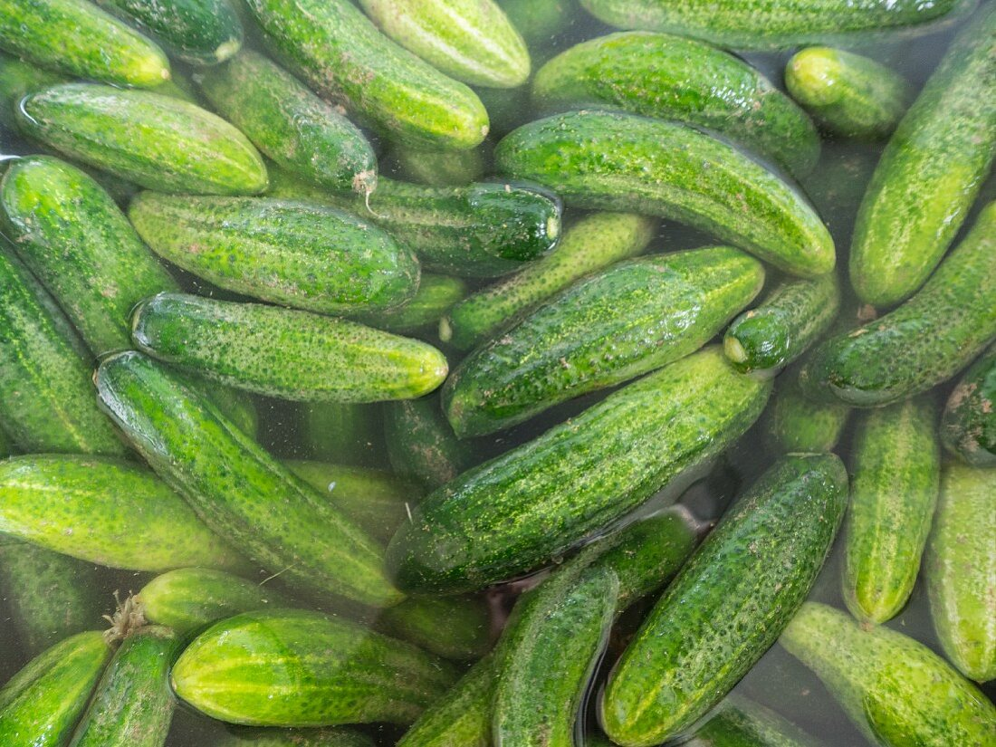 Pickling cucumbers being watered before being pickled