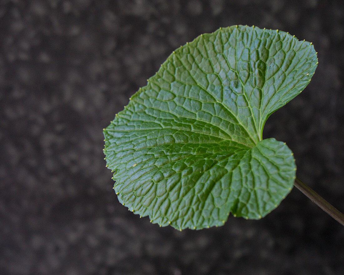 A wasabi leaf