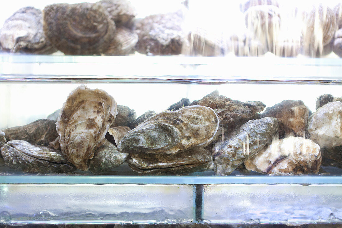 Fresh oysters in a water tank