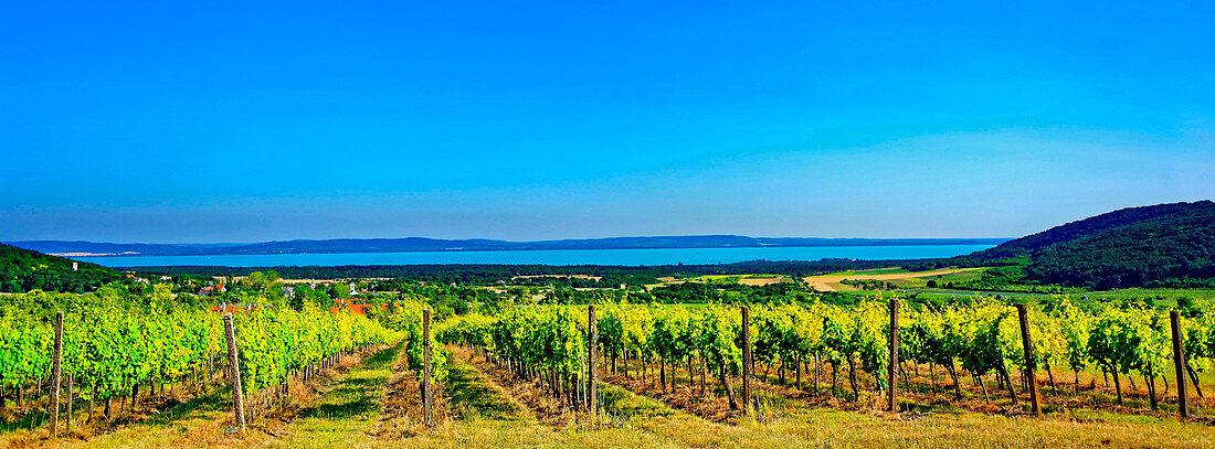 The wine-growing region next to Lake Balaton in Balatonfüred-Csopak, Hungary