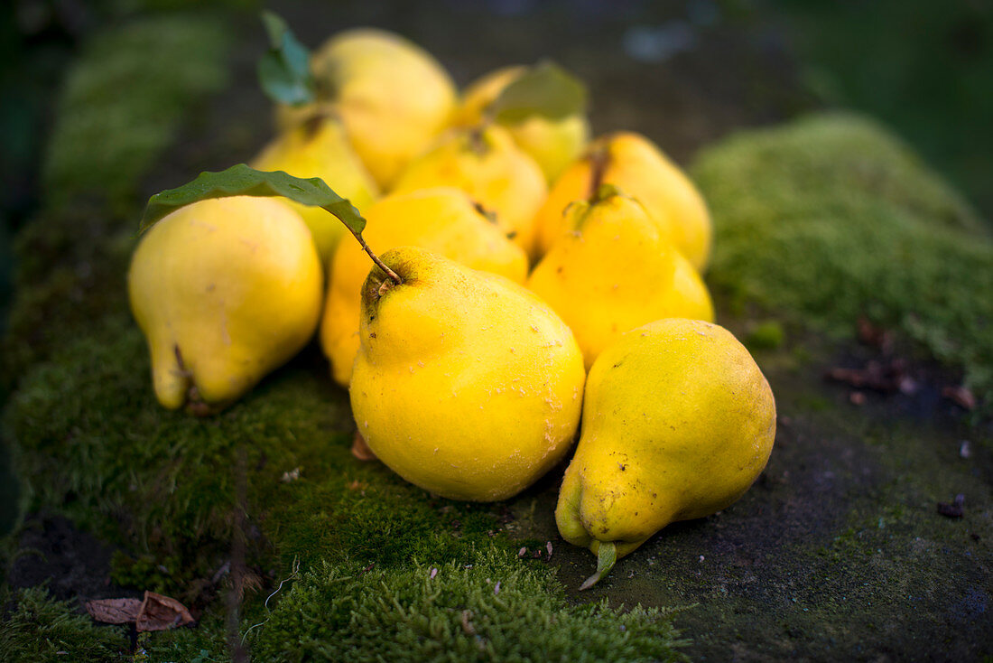 Pear quinces on a bed of moss