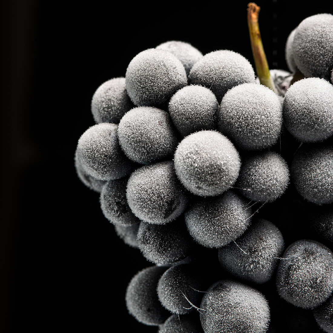Close-Up of Frozen Barbera Grapes on Black Background