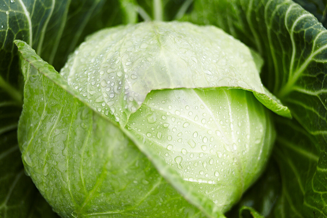 A wet white cabbage in a field