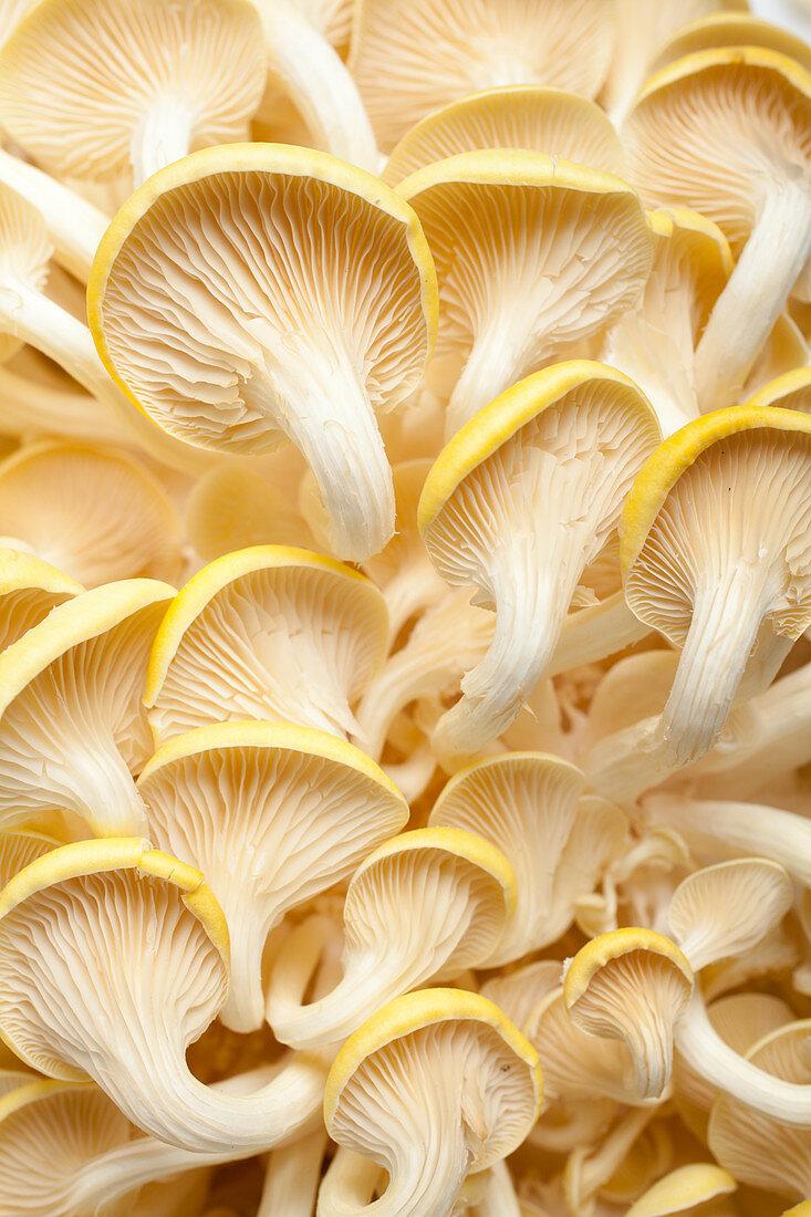 Lemon mushrooms (from below)