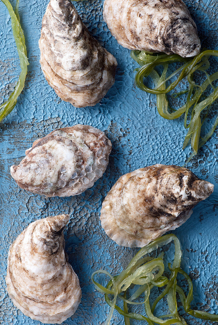 Raw oysters with seaweed on blue background