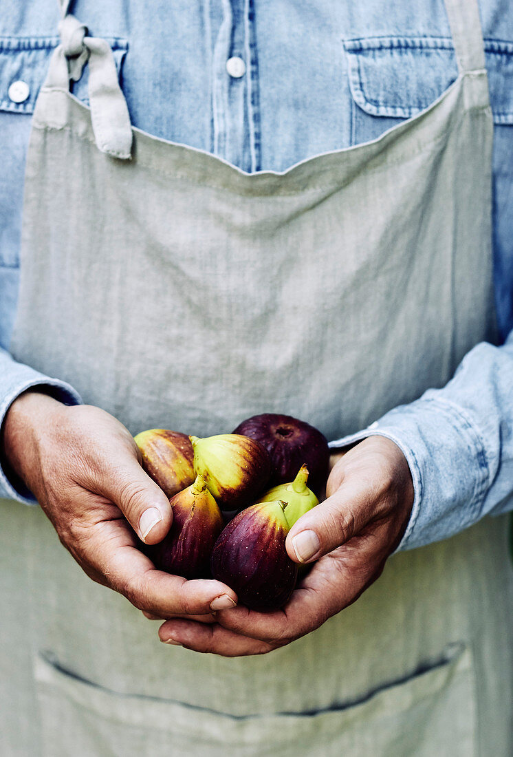 Freshly picked figs in farmers hands