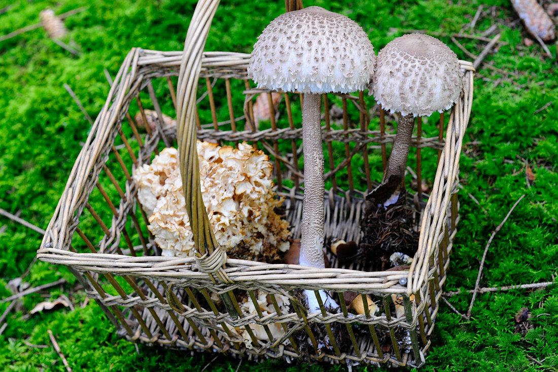 A basket of freshly harvested mushrooms on a forest floor
