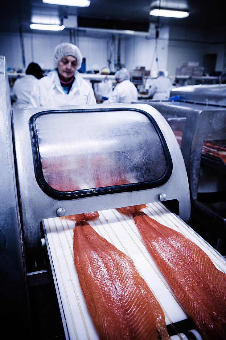 A production line in a fish factory for packing salmon fillets