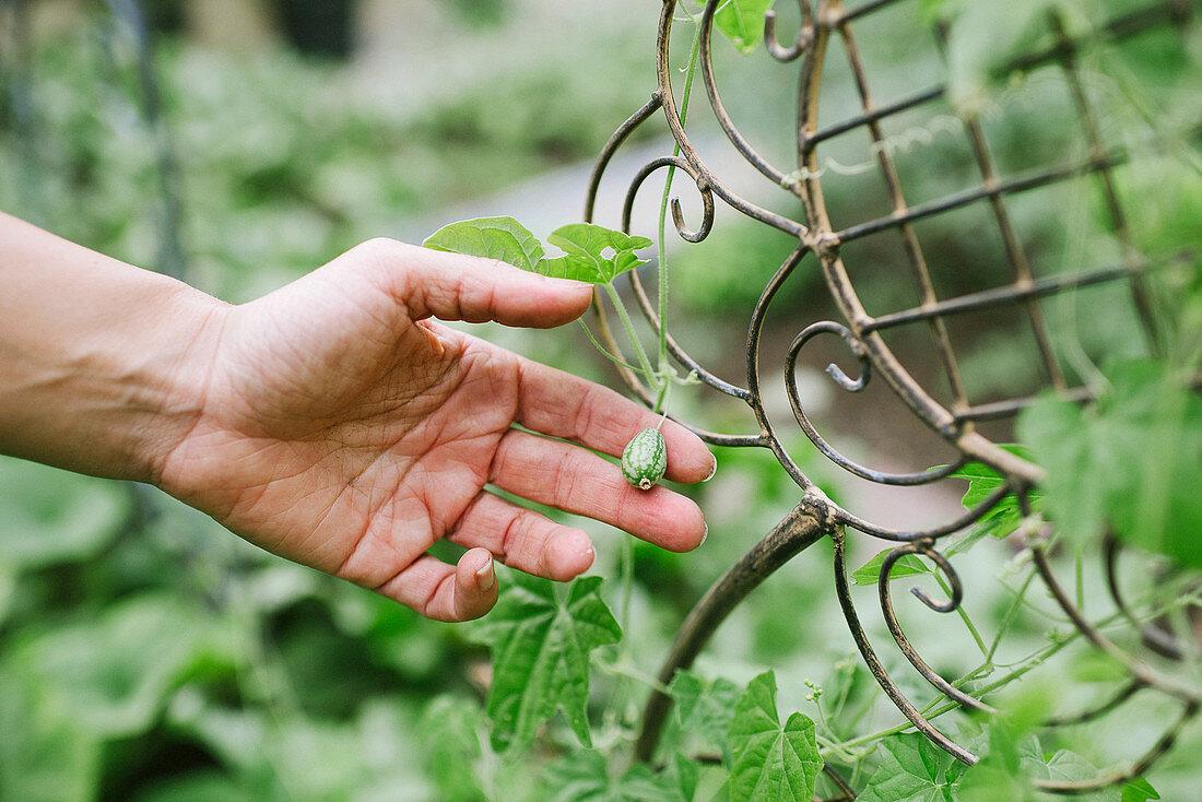 Round cucamelon on plant in garden