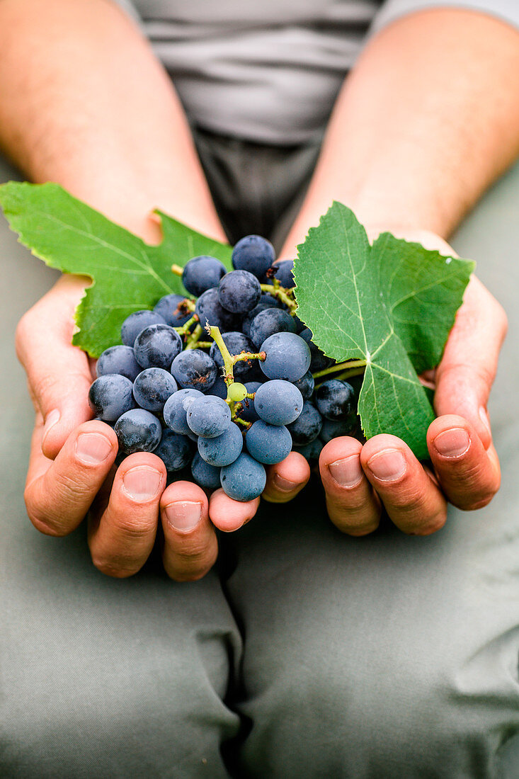 A Man Holding a Bunch of Fresh Purple Grapes
