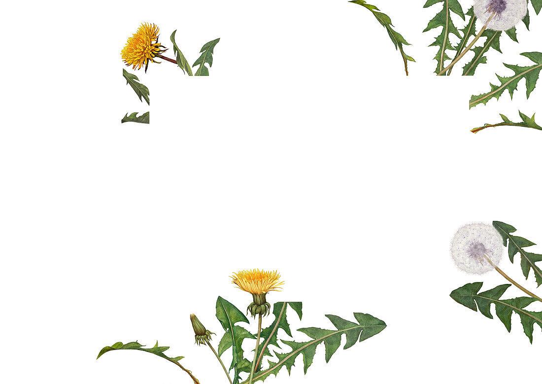 Dandelions and dandelion clocks