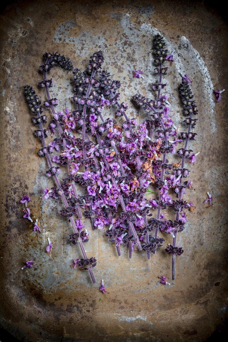 Lila Blüten der afrikanischen Basilikumpflanze auf Metalluntergrund