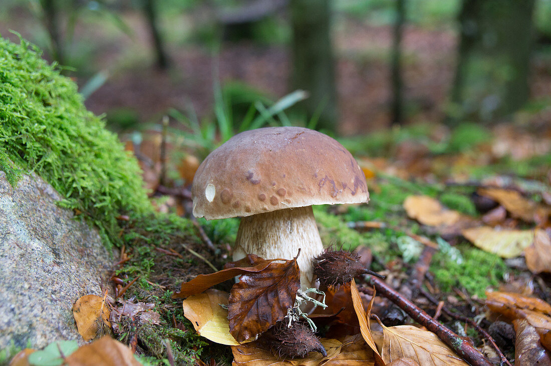 Boletus (mushroom) in moss and foliage