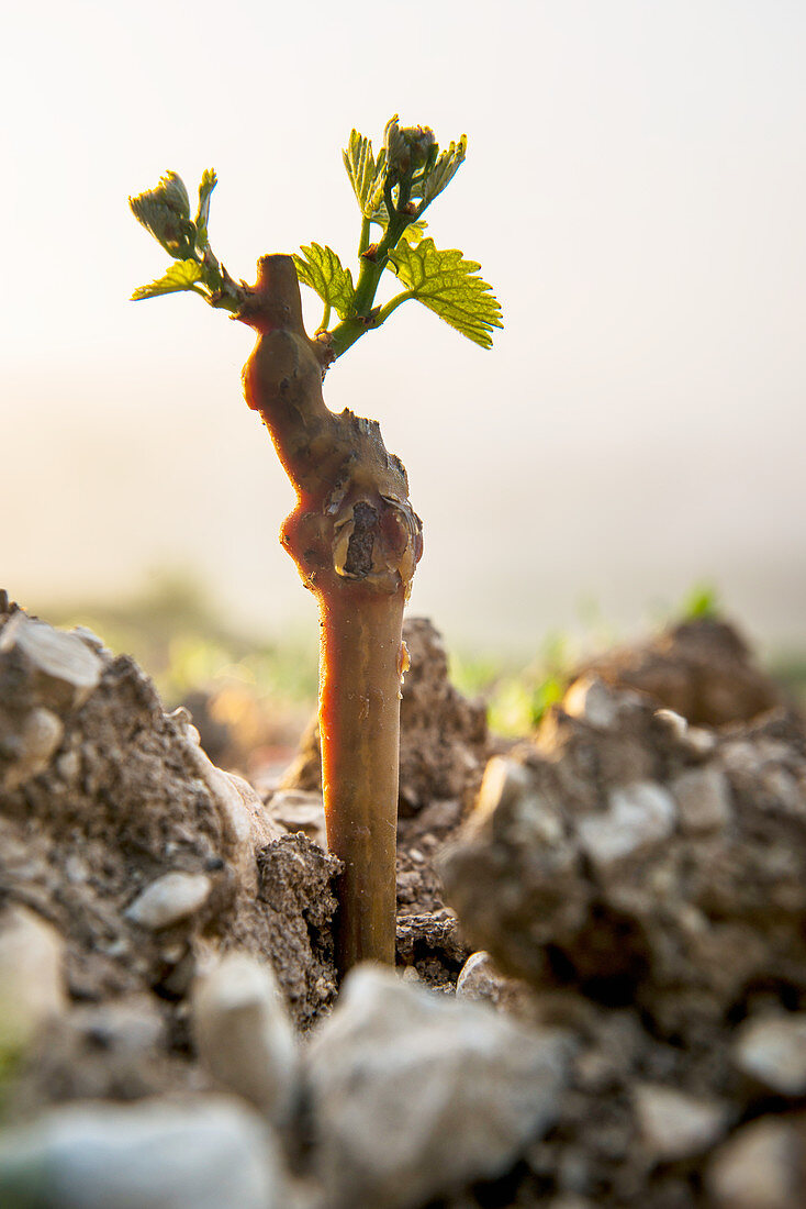 Young Chardonnay vines in the Grand Cru, Les Clos