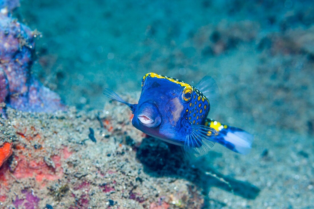 White-spotted boxfish on a reef