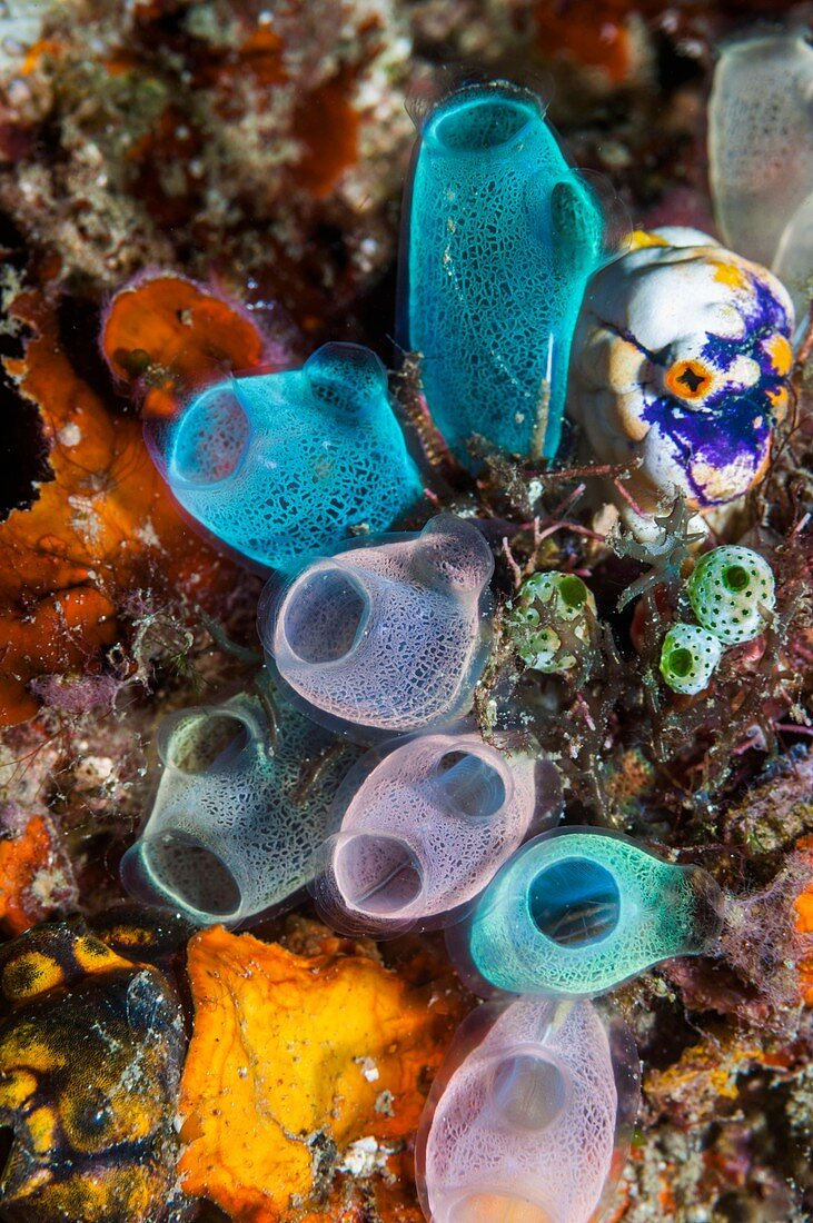 Sea squirts on a coral reef