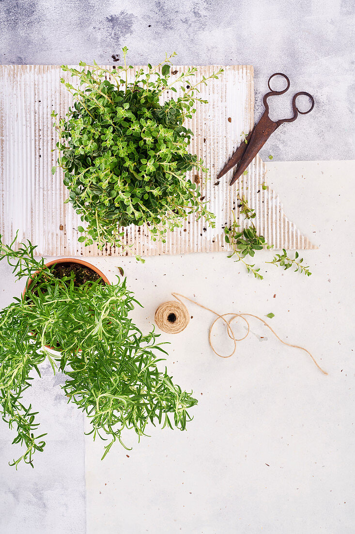 Still life of fresh herbs, oregano and rosemary