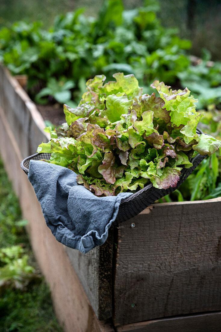 Fresh curly lettuce (Lactuca sativa var. Crispa) in a basket on a raised bed