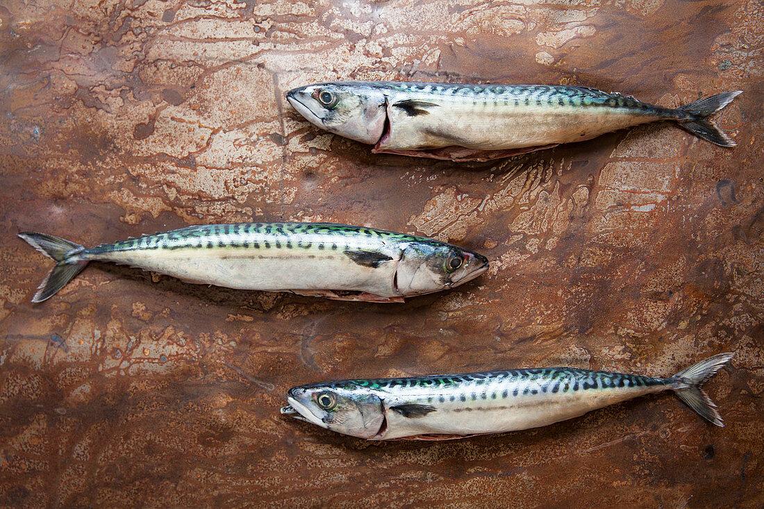 Three fresh mackerel on patinered sheet metal