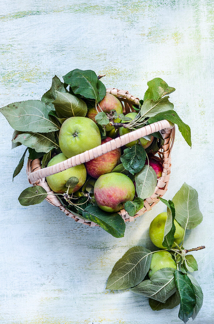 Freshly picked apples in a basket from the garden