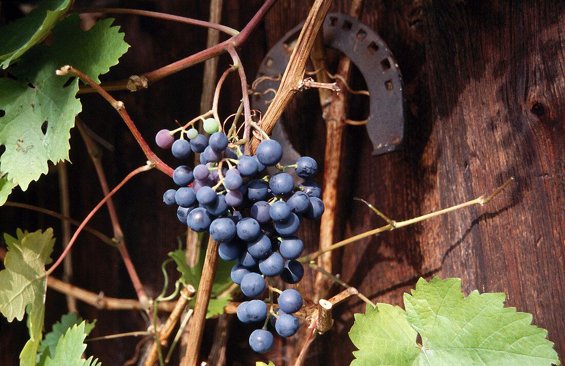Blue grapes on a vine