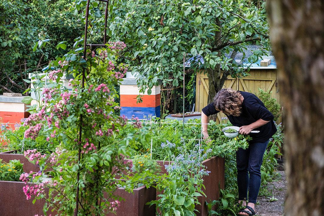 Woman picking asparagus peas (Lotus maritimus)