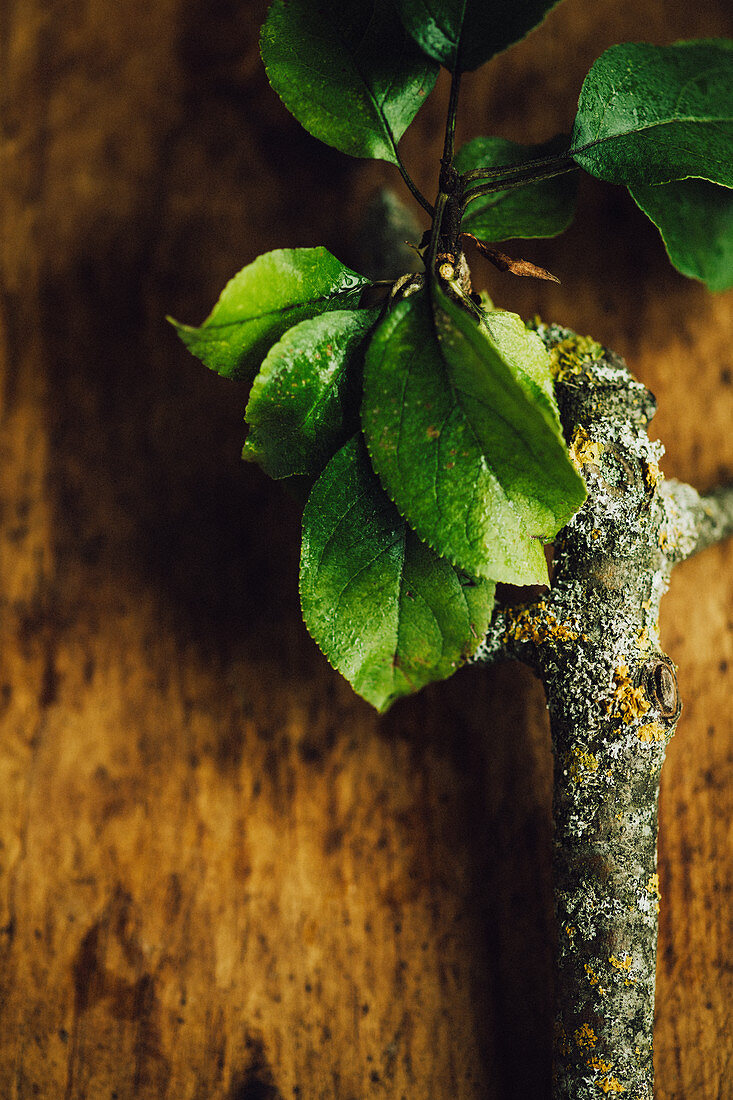 An apple sprig with leaves
