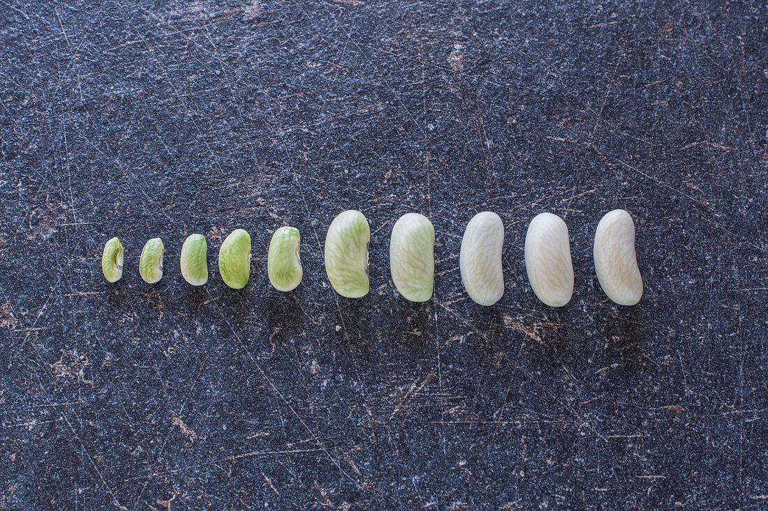 Growth phases of a bean
