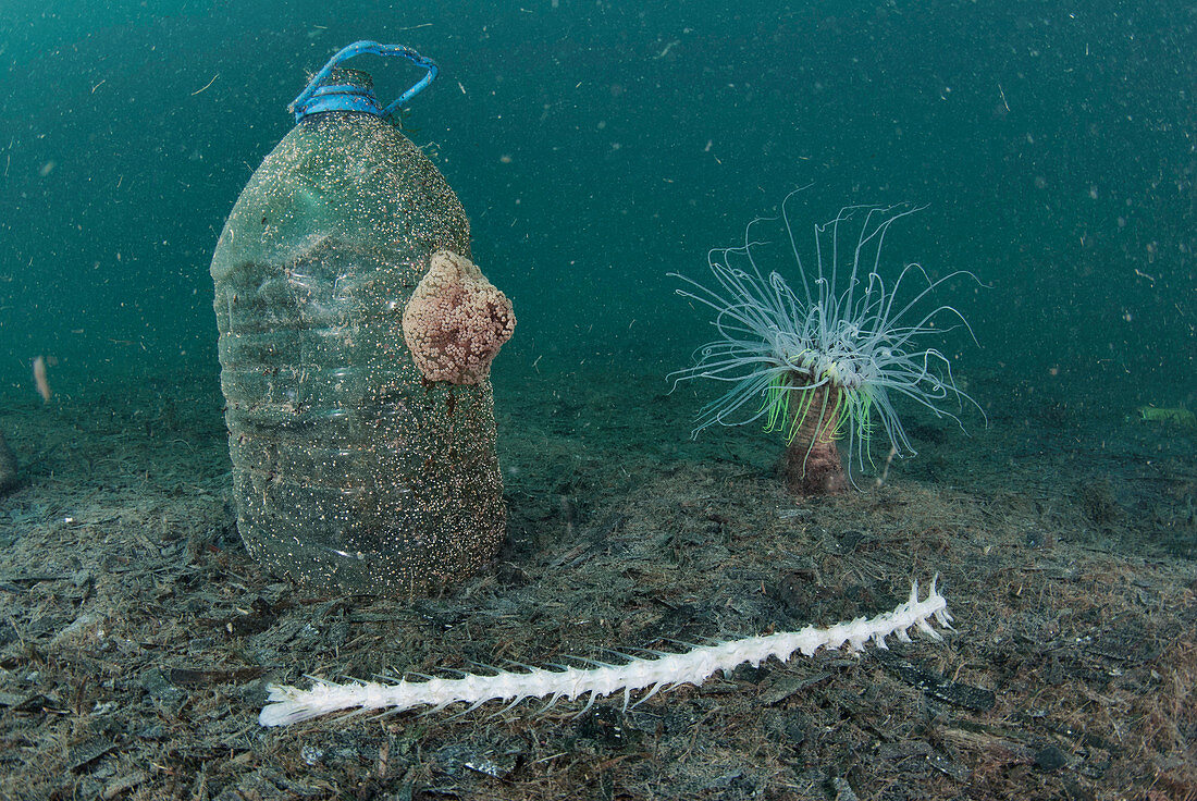 Anemones by plastic bottle on seabed