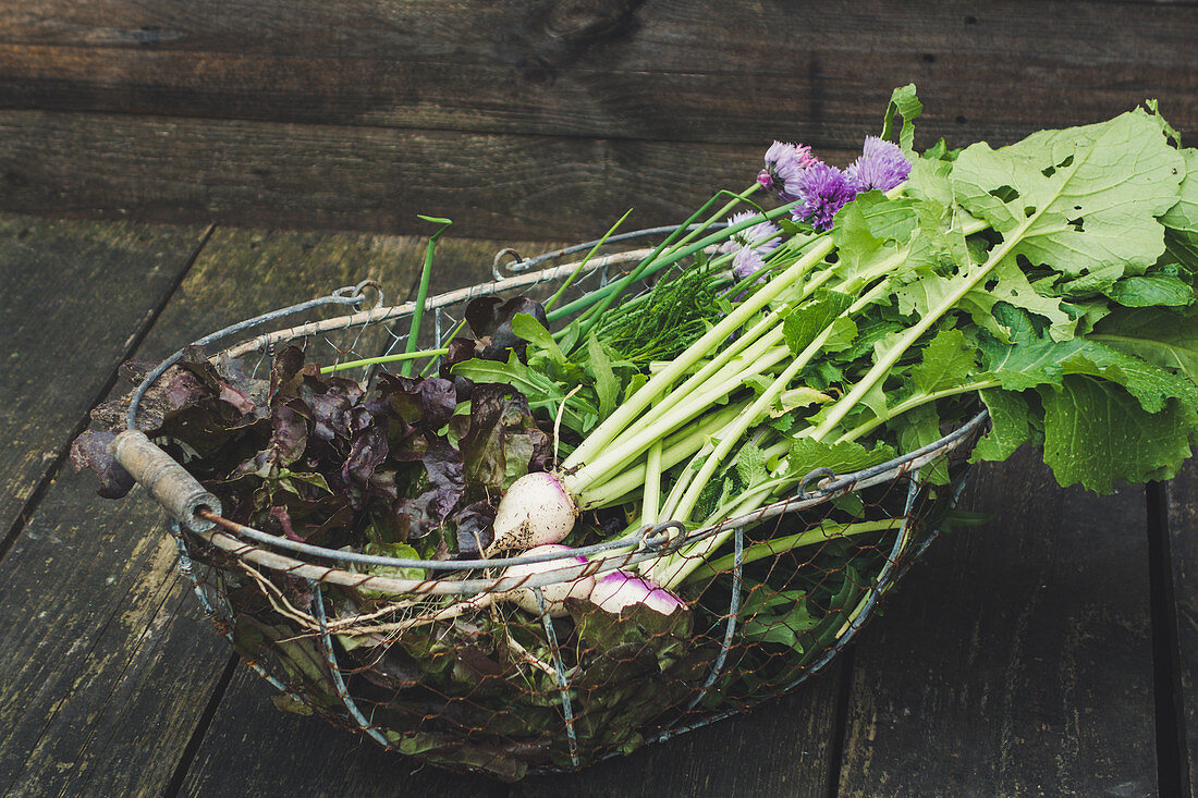 Red oak leaf lettuce, white turnips and herbs in wire basket